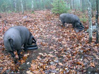 PiggiesNov08