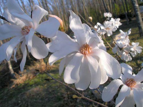 Magnolia09