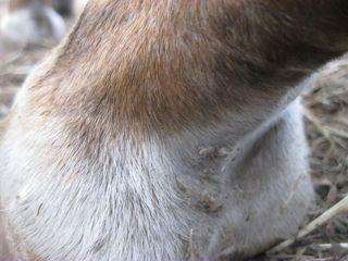 Scratches horse1