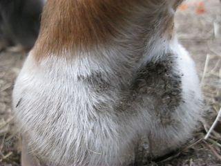 Scratches horse1A