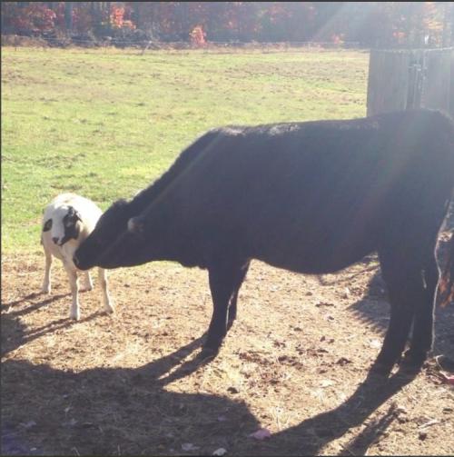 Sheepscott and Bess