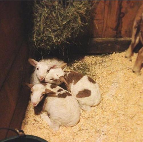 Baaabras triplets 2weeks218